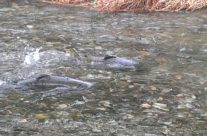 Salmon Run Tour (Once a Year Oct.15-Nov.30)