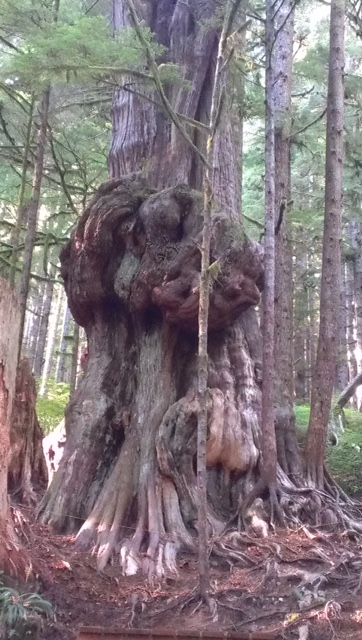Avatar Grove, Canada's gnarliest tree