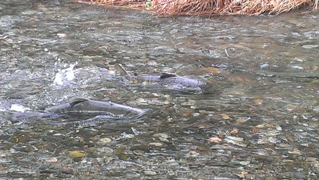 Goldstream Park Salmon Run Tour 1